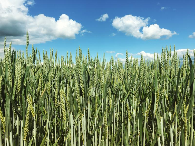 Campo agrícola verde de trigo con cielo azul imagen de archivo libre de regalías
