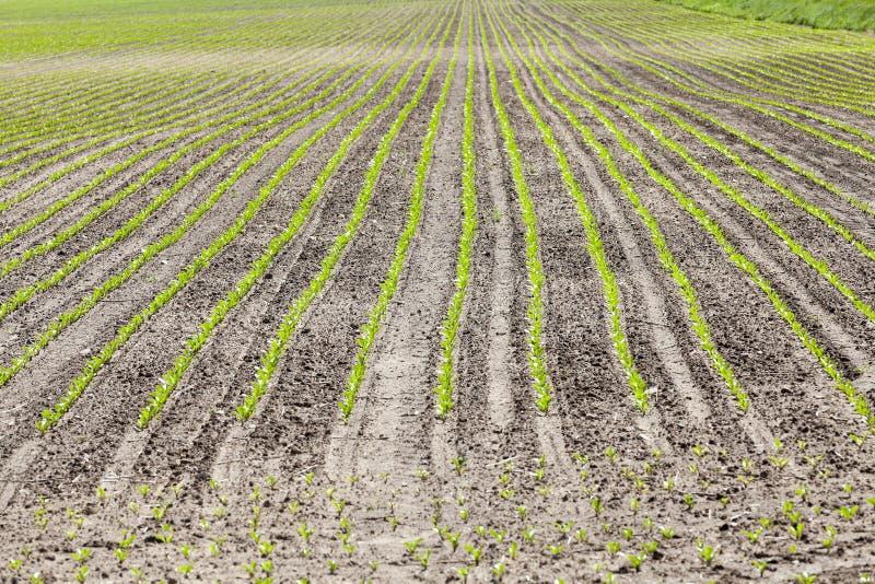 Campo agricolo con barbabietola fotografia stock