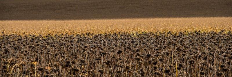 Campo agricolo dei girasoli e del cereale asciutti un giorno soleggiato Bandiera di Web fotografia stock libera da diritti