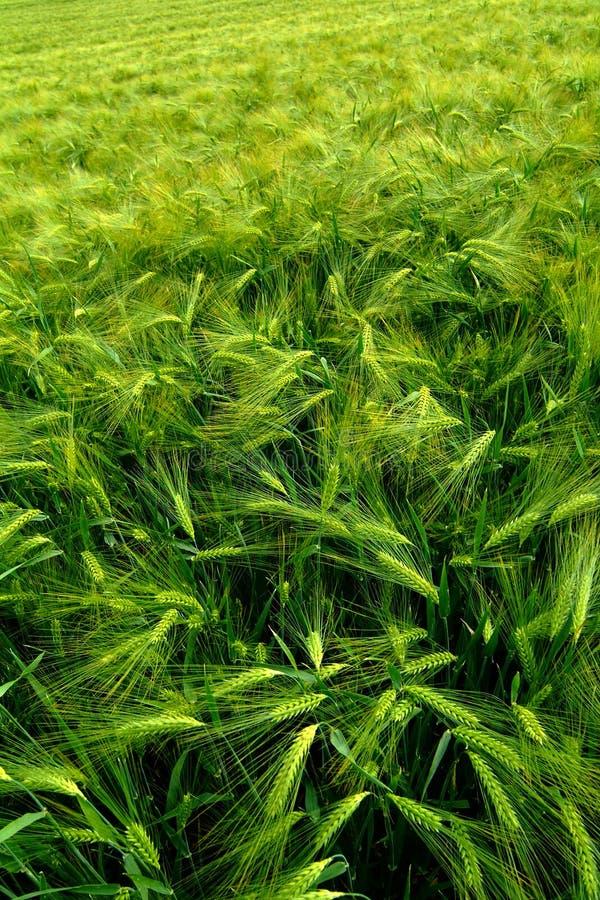 Campo agricultural verde imagem de stock royalty free