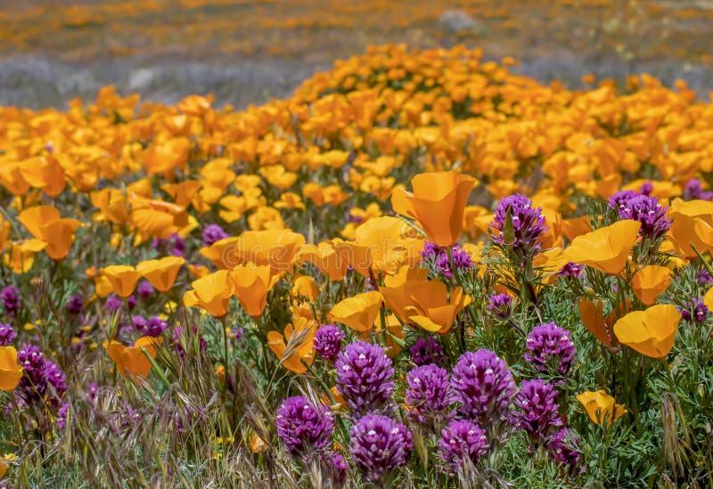 Campo alaranjado e roxo brilhante das papoilas e dos wildflowers do trevo das corujas foto de stock royalty free