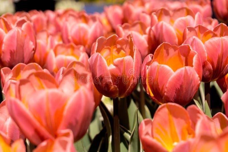 Campo amarelado das tulipas imagem de stock royalty free