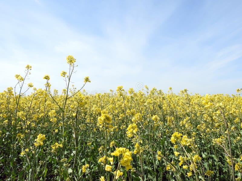 Campo amarelo bonito da violação, Lituânia fotos de stock