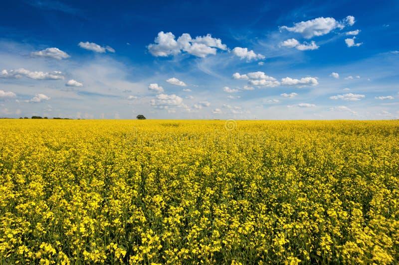 Campo amarelo brilhante da colza com cloudly o céu bonito imagem de stock royalty free