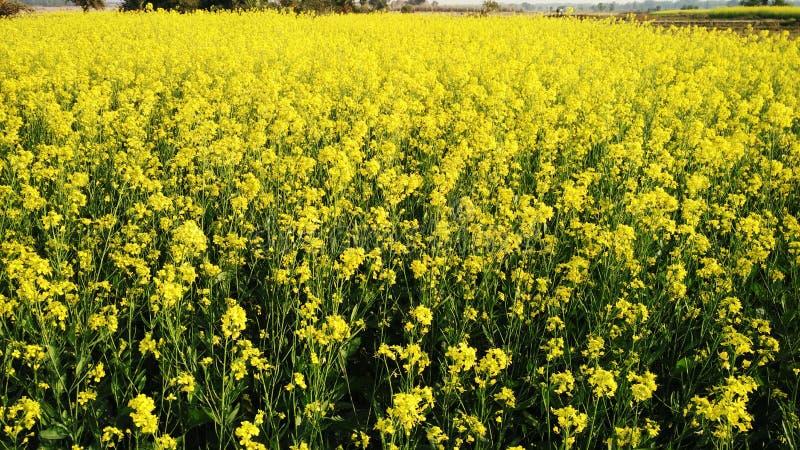 Campo amarelo brilhante da mostarda na vila próximo imagens de stock royalty free
