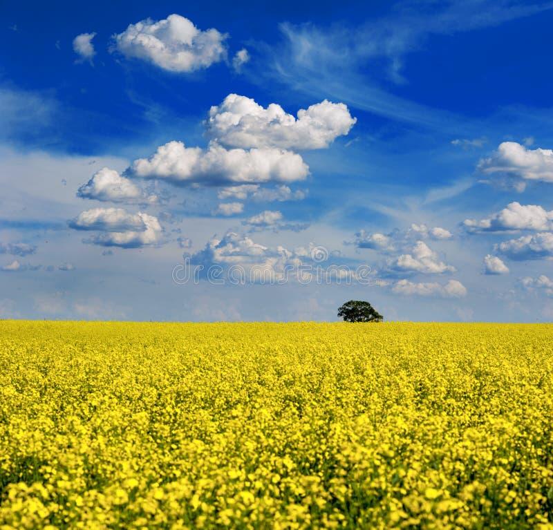 Campo amarelo brilhante do canola da colza pronto para a árvore da colheita no campo com céu dramático fotos de stock