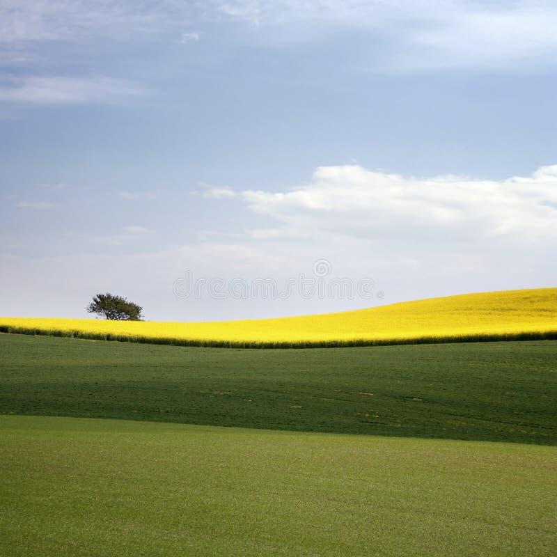 Campo amarelo com violação da semente oleaginosa na mola adiantada foto de stock