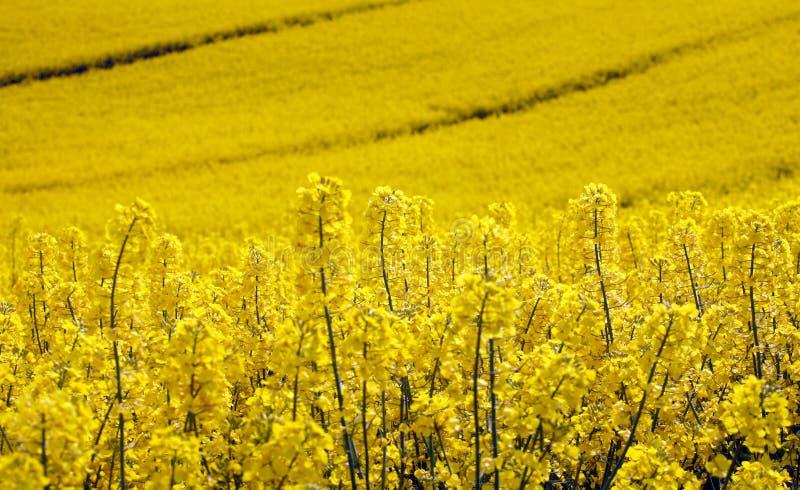 Campo amarelo com violação da semente oleaginosa na mola adiantada fotografia de stock