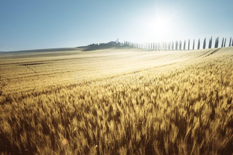 Campo amarelo da casa do trigo e da exploração agrícola, Toscânia foto de stock royalty free