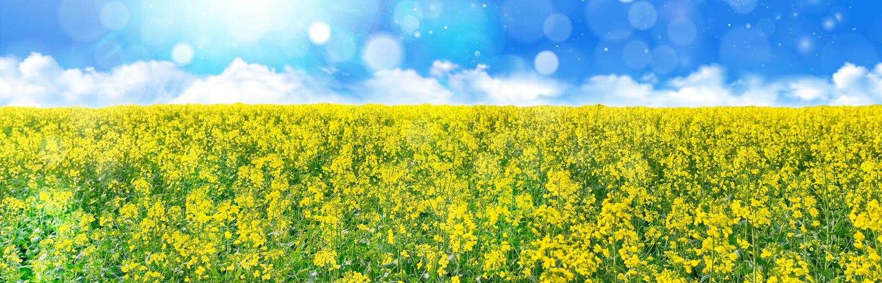 Campo amarelo da violação de semente oleaginosa sob o céu azul com sol foto de stock royalty free