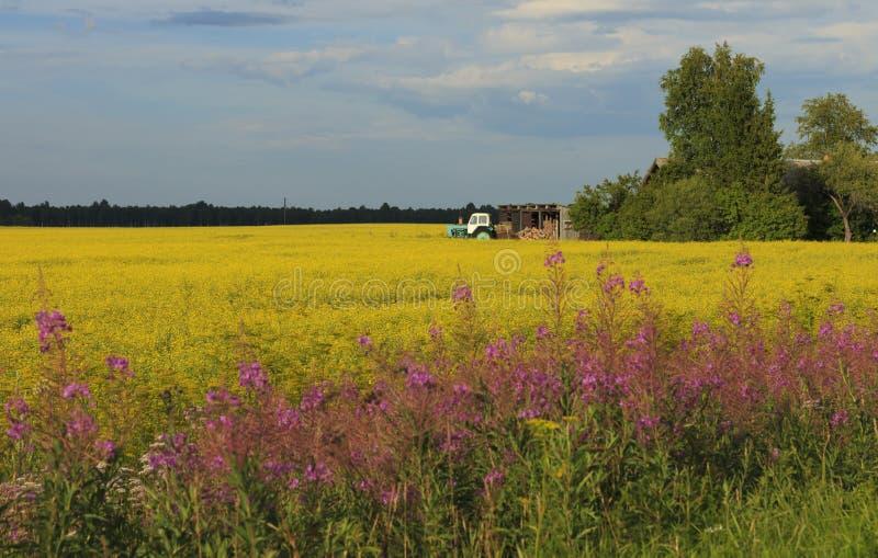 Campo amarelo da violação na exploração agrícola imagens de stock
