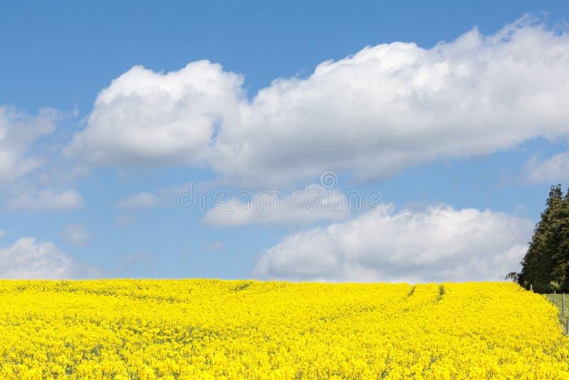 Campo amarelo da violação, napus do Brassica, sob um céu azul nebuloso fotos de stock