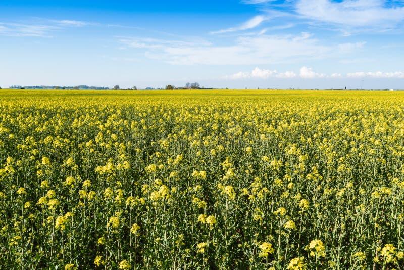 Campo amarelo de floresc?ncia da colza imagem de stock royalty free