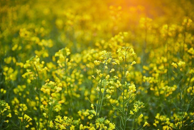 Campo amarelo de floresc?ncia da colza Planta para a energia e a ind?stria petroleira verdes foto de stock