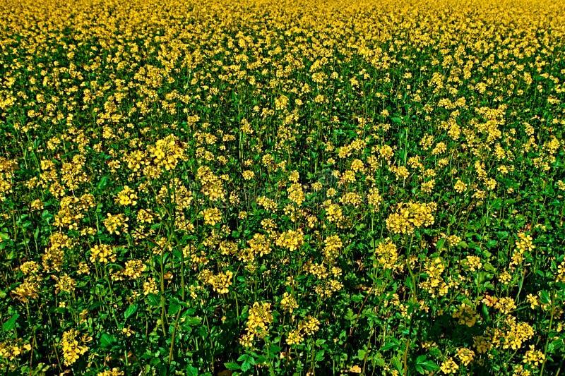 Campo amarelo do Brassica de florescência Napus do canola ou da couve-nabiça da colza, planta para a energia verde da colza, indú imagens de stock