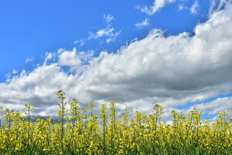 Campo amarelo do Canola e céu nebuloso foto de stock royalty free