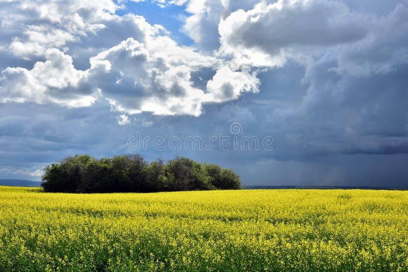 Campo amarelo do Canola e céu nebuloso imagens de stock