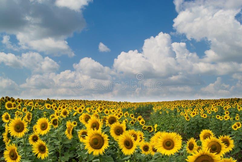Campo amarelo do girassol imagens de stock