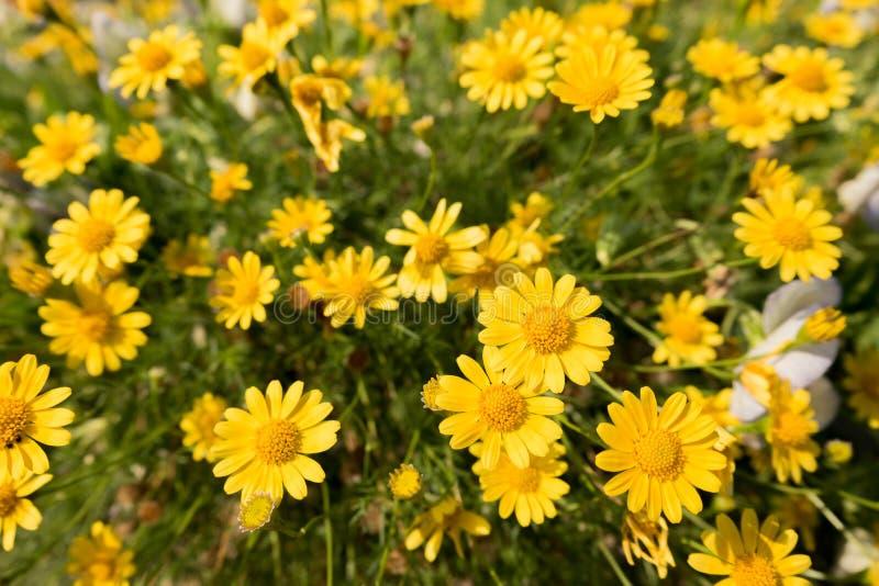 Campo amarelo do prado das flores da margarida no jardim, luz brilhante do dia margaridas de florescência naturais bonitas no ver fotografia de stock royalty free