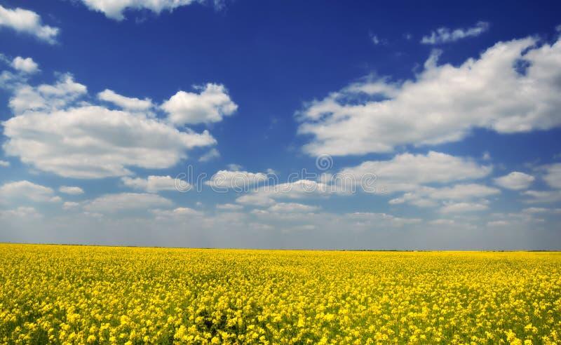 Campo amarelo do rapeseed imagem de stock royalty free