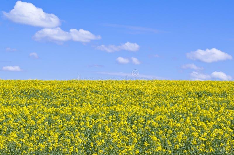 Campo amarelo do rapeseed foto de stock