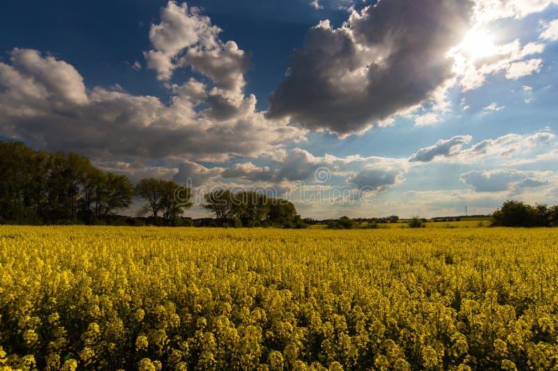 Campo amarelo e nuvens grandes no céu foto de stock royalty free