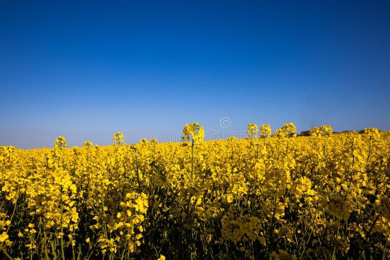 Campo amarelo minimalistic calmo da violação da mola contra um céu idílico sem nuvens azul fotos de stock