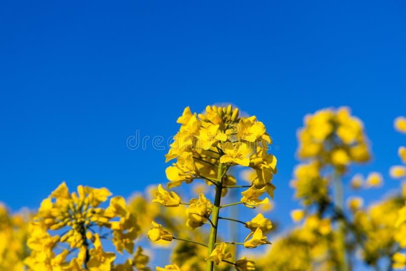 Campo amarelo minimalistic calmo da violação da mola contra um céu idílico sem nuvens azul fotografia de stock