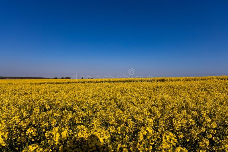 Campo amarelo minimalistic calmo da violação da mola contra um céu idílico sem nuvens azul imagens de stock