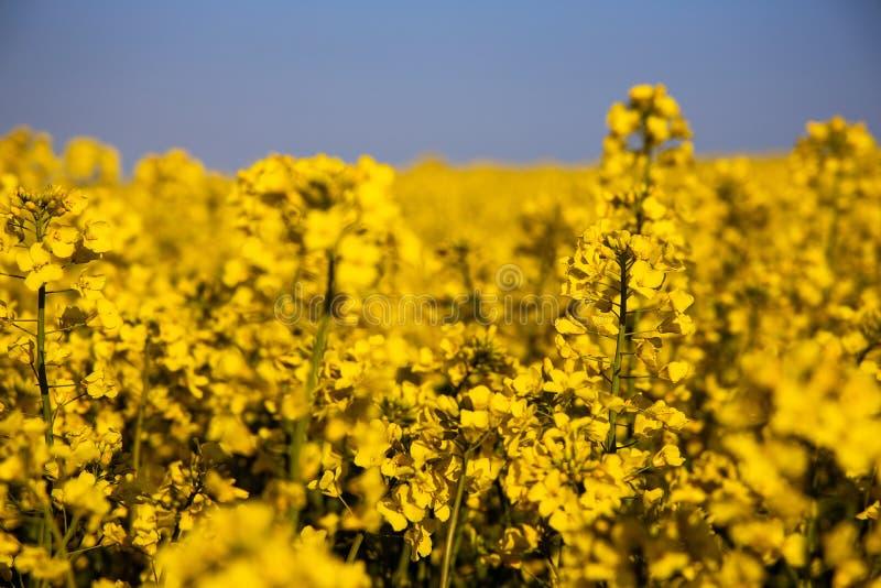 Campo amarelo minimalistic calmo da violação da mola contra um céu idílico sem nuvens azul imagens de stock royalty free