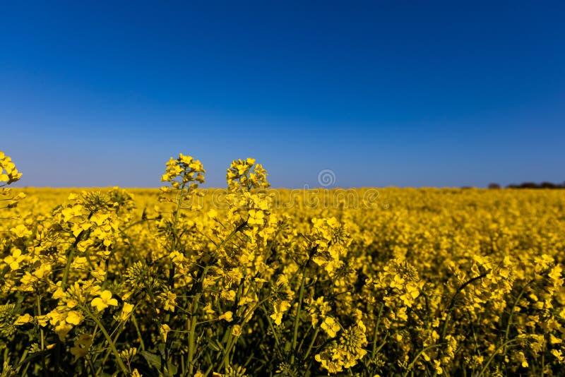 Campo amarelo minimalistic calmo da violação da mola contra um céu idílico sem nuvens azul imagem de stock royalty free