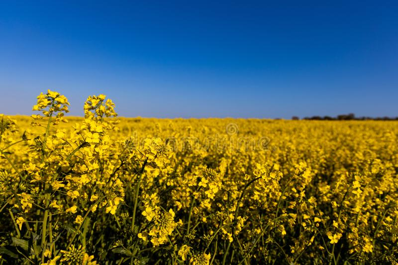 Campo amarelo minimalistic calmo da violação da mola contra um céu idílico sem nuvens azul foto de stock royalty free