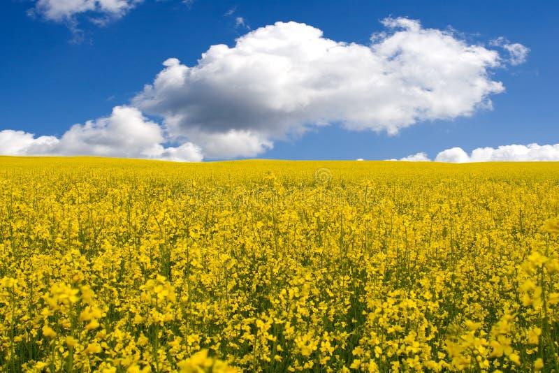 Campo amarillo fotografía de archivo libre de regalías