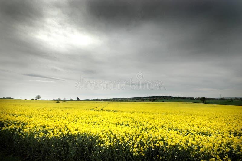 Campo amarillo imagenes de archivo