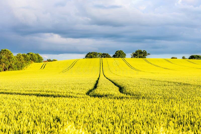 Campo amarillo caliente de la rabina en puesta del sol en Inglaterra Reino Unido imagenes de archivo