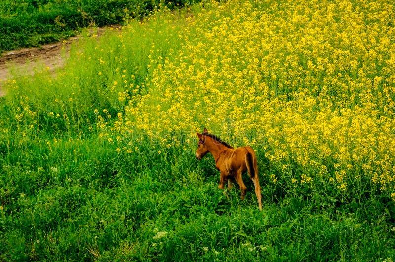 Campo amarillo con el caballo imagen de archivo