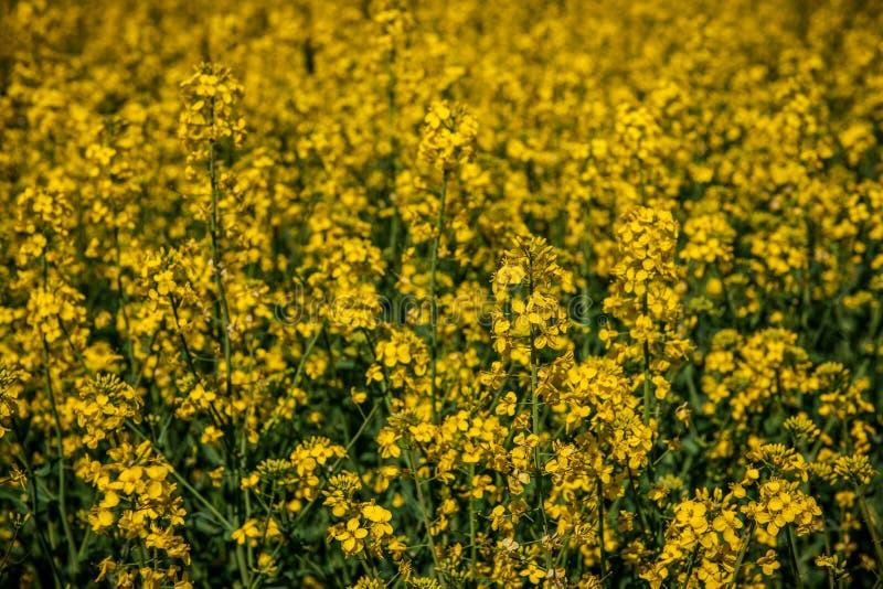 Campo amarillo de la rabina fotos de archivo libres de regalías