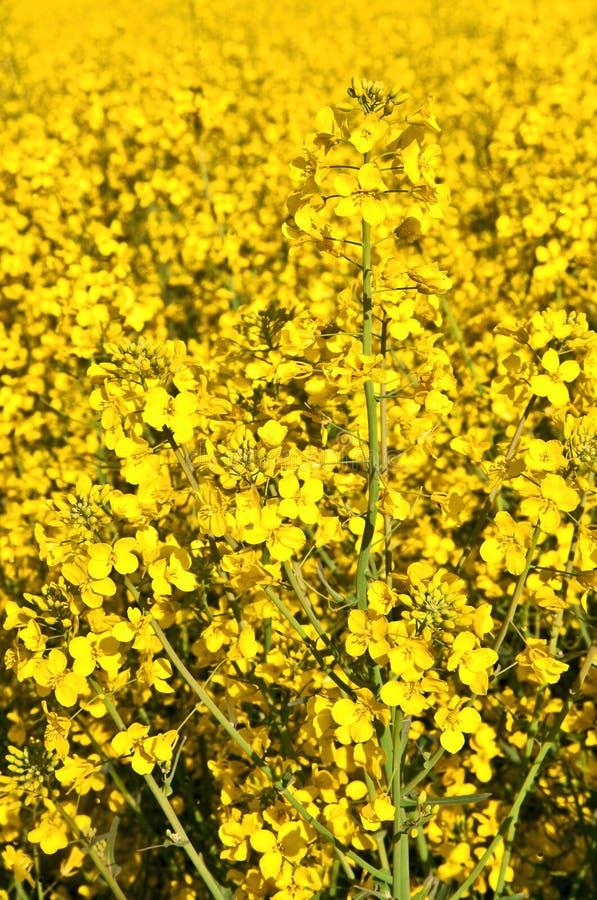 Campo amarillo de la violación en primavera foto de archivo