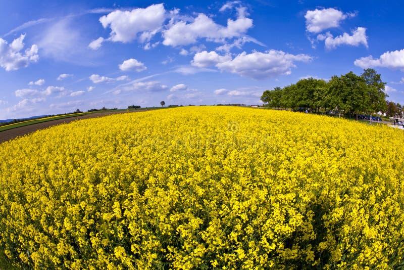 Campo amarillo de la violación en resorte foto de archivo