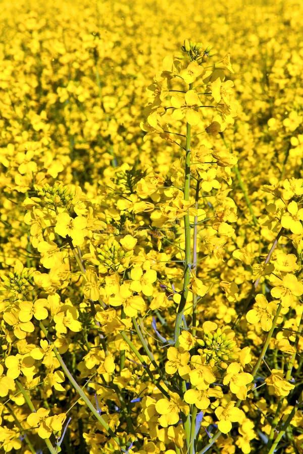 Campo amarillo de la violación en resorte fotos de archivo