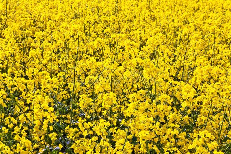 Campo amarillo de la violación en resorte fotografía de archivo