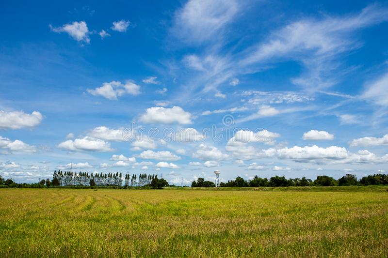 Campo amarillo de oro del arroz con el cielo azul foto de archivo