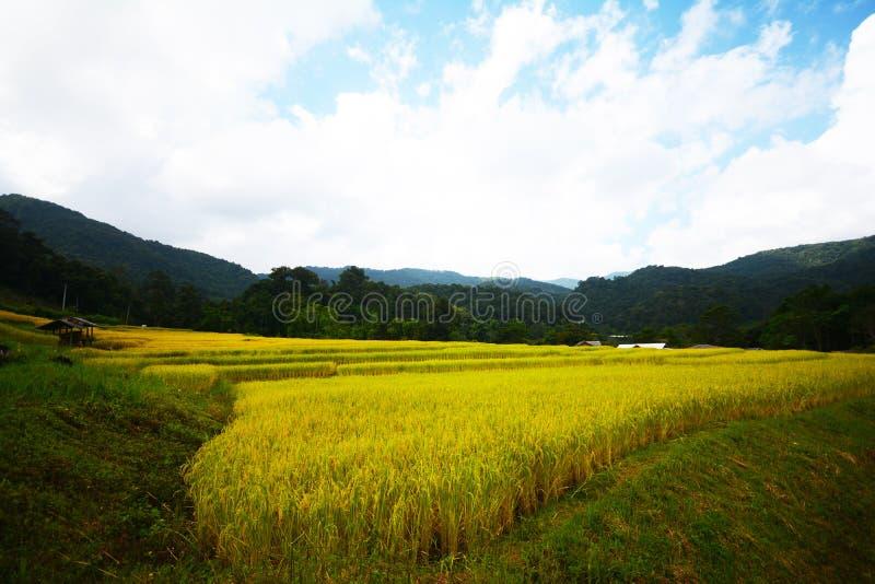 Campo amarillo del arroz de la escalera en Chiang Mai, Tailandia fotografía de archivo