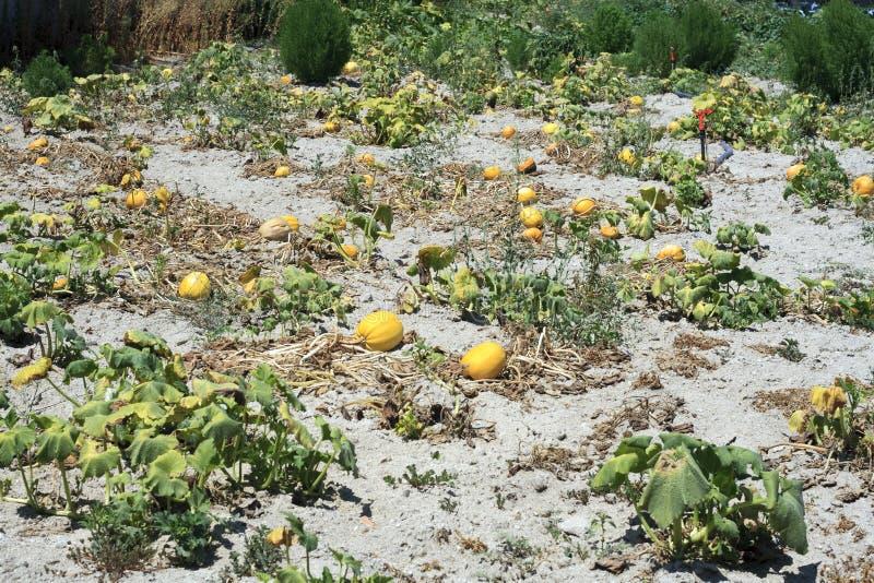 Campo amarillo del melón foto de archivo libre de regalías