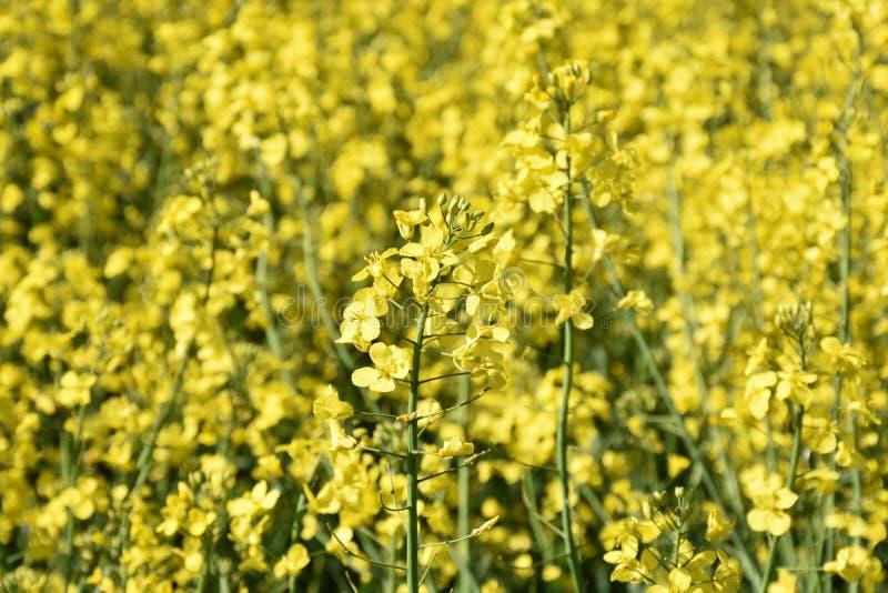 Campo amarillo floreciente hermoso de la rabina en la primavera foto de archivo