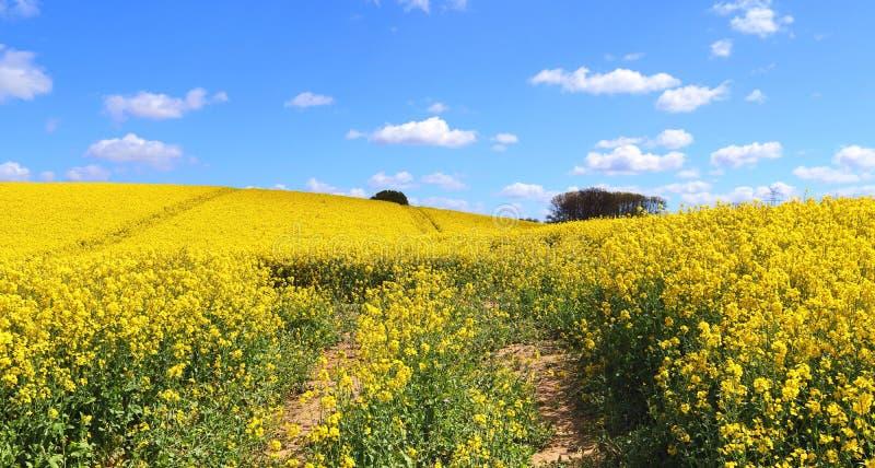 Campo amarillo hermoso de la violaci?n de semilla oleaginosa con un cielo azul soleado en el verano encontrado en Alemania septen fotografía de archivo