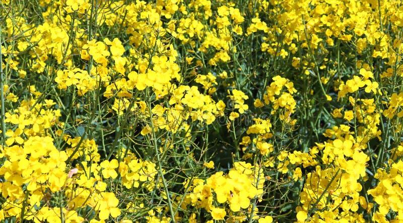 Campo amarillo hermoso de la violaci?n de semilla oleaginosa con un cielo azul soleado en el verano encontrado en Alemania septen imágenes de archivo libres de regalías