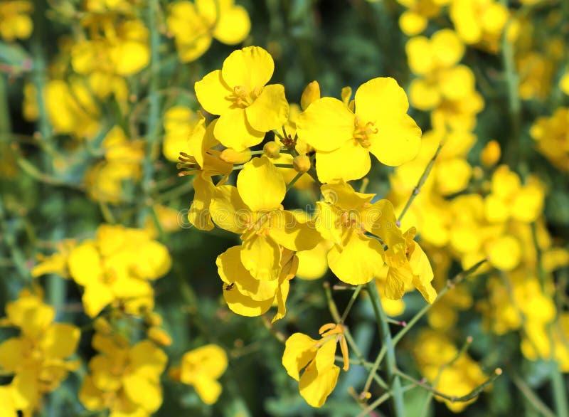 Campo amarillo hermoso de la violaci?n de semilla oleaginosa con un cielo azul soleado en el verano encontrado en Alemania septen fotos de archivo