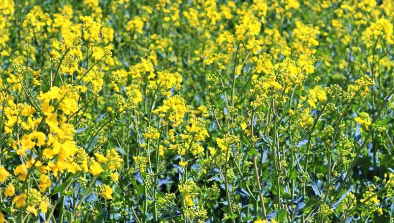 Campo amarillo hermoso de la violaci?n de semilla oleaginosa con un cielo azul soleado en el verano encontrado en Alemania septen foto de archivo libre de regalías