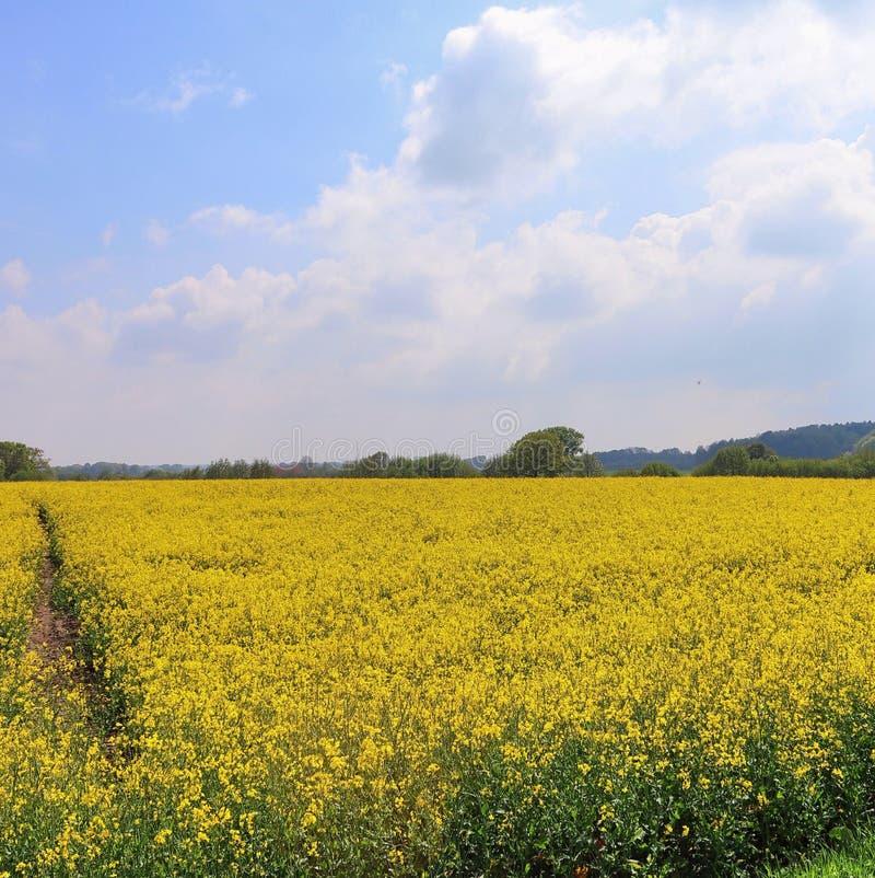Campo amarillo hermoso de la violaci?n de semilla oleaginosa con un cielo azul soleado en el verano encontrado en Alemania septen imagen de archivo libre de regalías